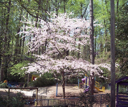 Gorgeous flowering pear tree in the playground next door